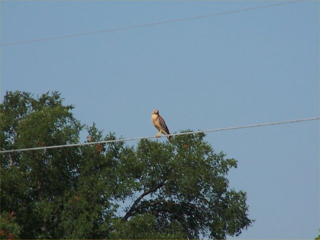 A hawk sitting on the power line.