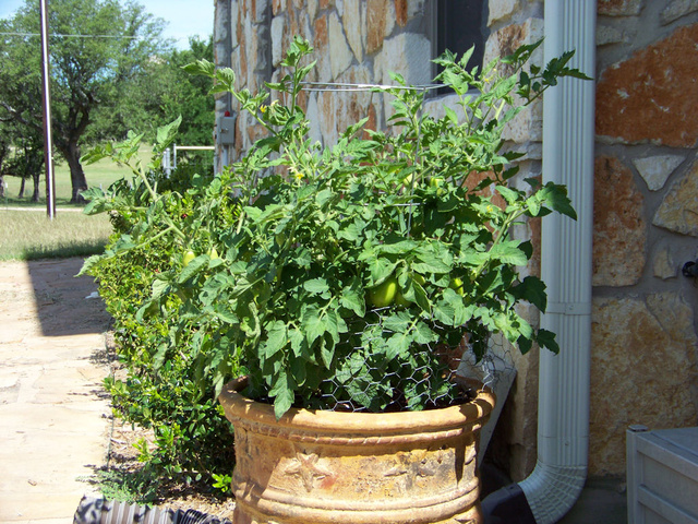 May 29, 2009: Roma tomato plant in clay pot.